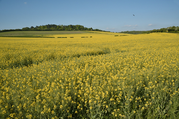 Oilseed Rape - Brassica napus