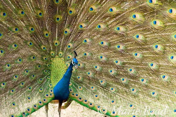 Peacock (Pavo cristatus) male displaying, introduced species, photographed in California, USA