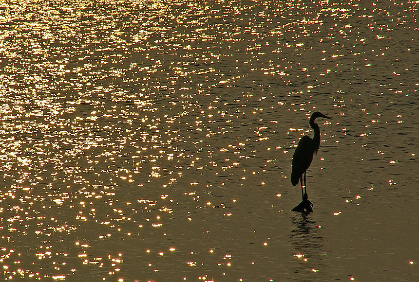 Great egret silhouetted on golden morning water, Aransas National Wildlife Refuge, Texas