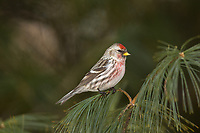Male common redpoll perched in a white pine tree in northern Wisconsin.