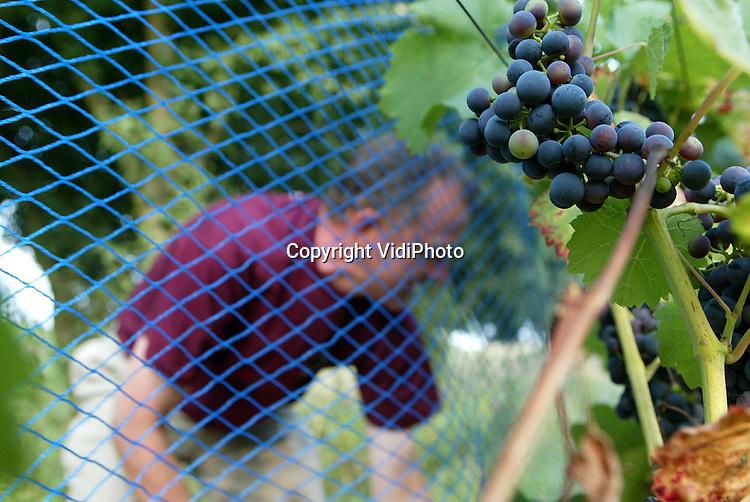 Foto: VidiPhoto..DODEWAARD - Om te voorkomen dat zijn complete druivenoogst wordt opgevreten door merels, spant wijngaardenier Inno Venhorst uit Dodewaard een blauw net om en over de randen van zijn wijngaard met witte en blauwe druiven. Venhorst bezit de enige buitendijkse wijngaard (lang de Waal) van Nederland. Als het weer zo blijft, wacht Nederlandse wijnboeren een topoogst en uiteindelijk een topwijn. Meer zon, betekent meer suiker, met als resultaat een betere smaak.