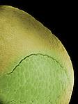 Frog egg (Rana pipiens) dorsal lip of blastopore. SEM X160