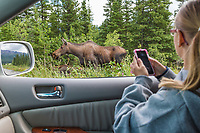 Young girl watches a cow moose browse on fireweed along the road in Interior, Alaska.