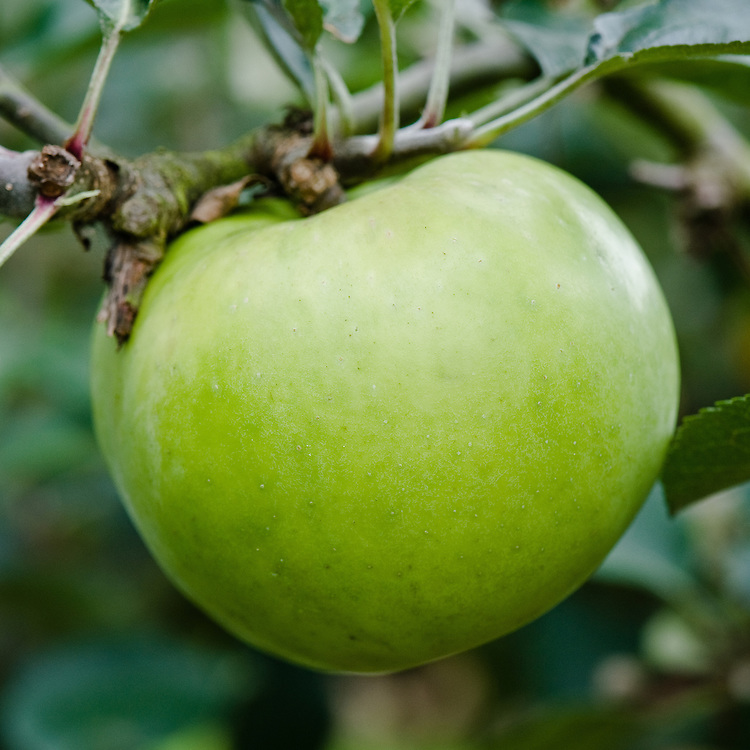 Apple 'Warner's King', early September. Very popular English Victorian culinary apple. Its origin dates back to the late 1700s, once known as 'King Apple' and 'Killick's Apple'.