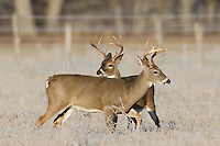 Young white-tailed deer bucks during the fall rut
