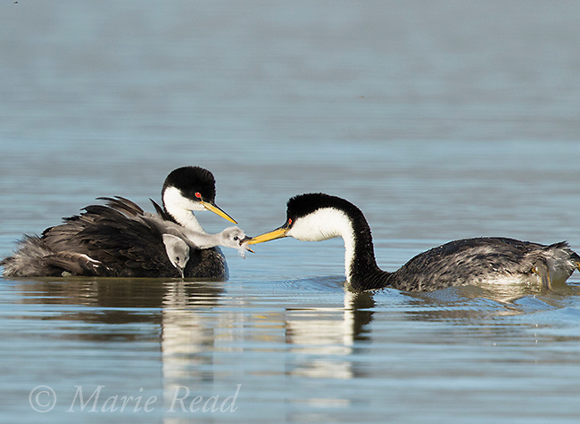 Western Grebes (Aechmophorus occidentalis), one parent feeds a feather to a begging chick, one of two riding on the other parent's back, Bear River Migratory Bird Refuge, Utah, USA.