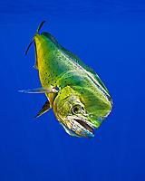 mahi-mahi, dorado, or common dolphin-fish, Coryphaena hippurus, adult, bull, Kona Coast, Big Island, Hawaii, USA, Pacific Ocean