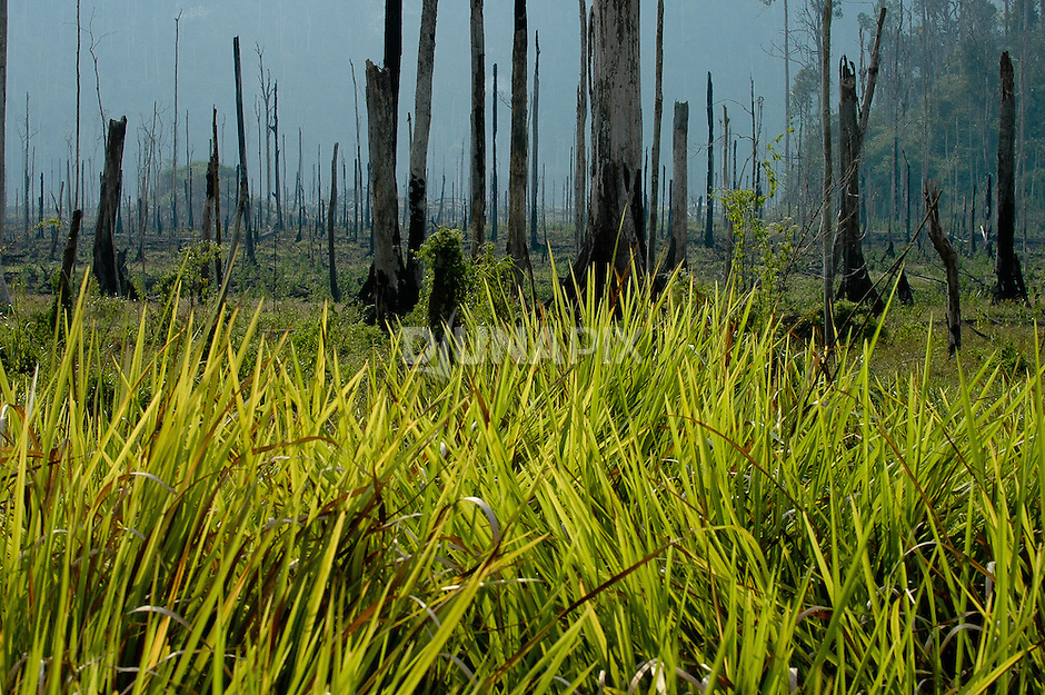 Imperata grass marks secondary succession after Borneo's 1997/98 forest fires. Acid released by this invasive species makes it difficult for tree seeds to germinate.
