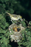 White-eyed Vireo, Vireo griseus, adult feeding young in nest in huisache tree, Welder Wildlife Refuge, Rockport, Texas, USA, June 2005