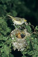 White-eyed Vireo, Vireo griseus, adult feeding young in nest in huisache tree, Welder Wildlife Refuge, Rockport, Texas, USA, June 2005