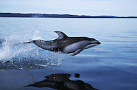 nb47. Pacific White-sided Dolphin (Lagenorhynchus obliquidens) leaping. British Columbia, Canada, Pacific Ocean..Photo Copyright © Brandon Cole.  All rights reserved worldwide.  www.brandoncole.com..This photo is NOT free. It is NOT in the public domain...Rights to reproduction of photograph granted only upon payment of invoice in full.  Any use whatsoever prior to such payment will be considered an infringement of copyright...Brandon Cole.Marine Photography.http://www.brandoncole.com.email: brandoncole@msn.com.4917 N. Boeing Rd..Spokane Valley, WA 99206   USA..tel: 509-535-3489