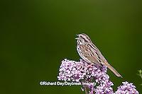 01575-01811 Song Sparrow (Melospiza melodia)  singing on Dwarf Korean Lilac Bush (Syringa meyeri 'Palibin'), Marion Co., IL