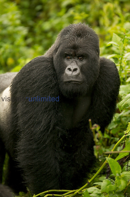 Male Silverback Mountain Gorilla (Gorilla gorilla beringei) in Volcanoes National Park, Rwanda....