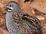 Chinese Painted Quail, Turnix varia