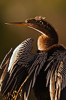 Female Anhinga at sunset<br /> Anhinga anhinga<br /> Everglades National Park, Florida<br /> Female Anhinga at sunsetAnhinga anhingaEverglades National Park, Florida<br /> Female Anhinga at sunsetAnhinga anhingaEverglades National Park, Florida<br /> Female Anhinga at sunset<br /> Anhinga anhinga<br /> Everglades National Park, Florida