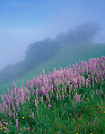 Redwood National Park, CA<br /> Foggy meadow with bigleaf lupine (Lupinus polyphyllus) and rolling hills with Oregon white oaks (Quercus garryana) on Bald Hills road