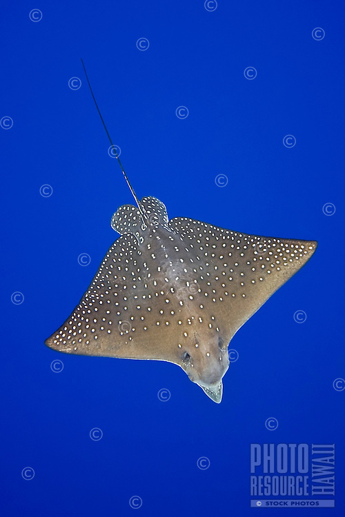 Spotted eagle ray, Aetobatus narinari, Kona Coast, Big Island.