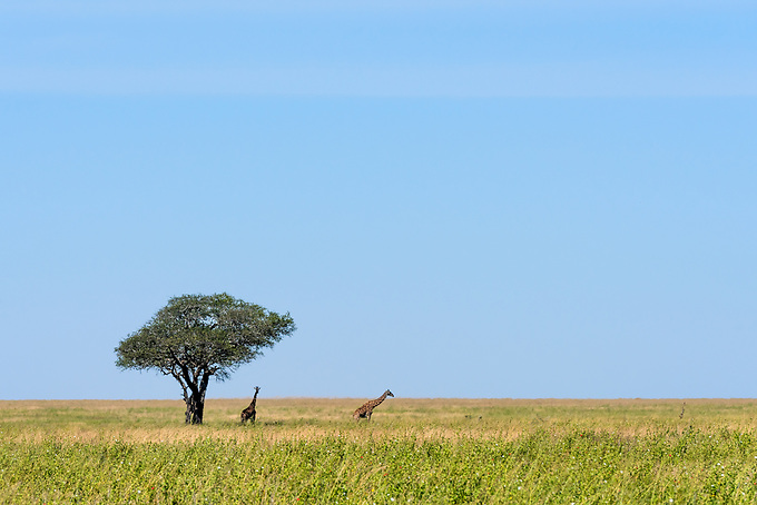 Two giraffes in the distance seek refuge from the midday sun near a long tree in the Serengetti plains.