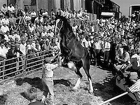 Shire horse sale, Staffordshire.