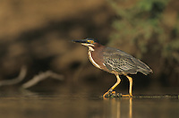 Green Heron, Butorides virescens, adult, Starr County, Rio Grande Valley, Texas, USA, May 2002