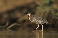 Green Heron, Butorides virescens, adult, Starr County, Rio Grande Valley, Texas, USA, May 2002