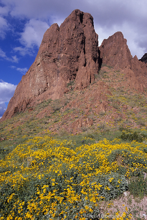 Brittlebush (Encelia farinosa) and cliffs, Kofa National Wildlife Refuge, Arizona