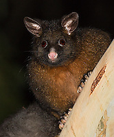 "Common brushtail possums are often seen at night in places like Tasmania.  Note: I had to work the ""pet eye"" effect a bit in post processing, with mixed results."
