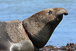 bull elephant seal with net on neck