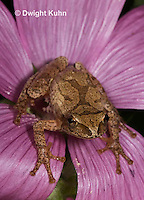 FR16-503z  Spring Peeper on mallow flowers, note identification cross on back,  Hyla crucifer or Pseudacris crucifer