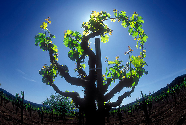 Old style head-pruned cabernet vine in St. Helena vineyard