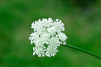 CORKY-FRUITED WATER-DROPWORT Oenanthe pimpinelloides (Apiaceae) Height to 1m. Upright, hairless perennial with solid, ridged stems. Favours damp, grass places, often coastal and particularly on clay soils. FLOWERS are white and borne in terminal, flat-topped umbels, 2-6cm across, with 6-15 rays (May-Aug). FRUITS are cylindrical, with swollen, corky bases. LEAVES are 1- or 2-pinnate with narrow-oval to wedge-shaped leaflets.