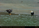Bald Eagle and Juvenile with Salmon, Squamish River, Brackendale Eagles Provincial Park, Vancouver, British Columbia