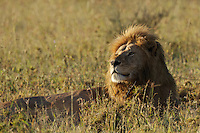 Male lion soaking up the first rays of sunlight