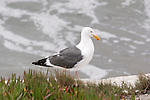 CALIFORNIA GULL ON BEACH, LARUS CALIFORNICUS
