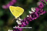 03091-00705 Cloudless Sulphur butterfly (Phoebis sennae) female on Mexican Bush Sage (Salvia leucantha) Marion Co. IL
