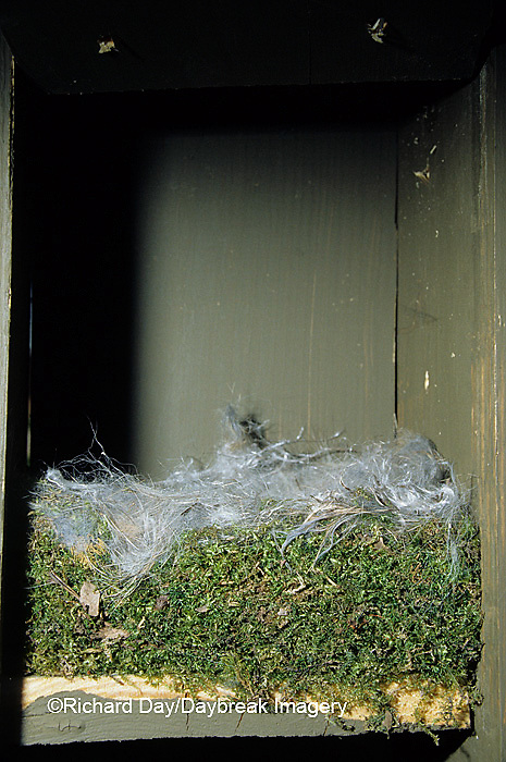 01299-00408 Carolina chickadee (Poecile carolinensis) nest in bluebird nest box   IL