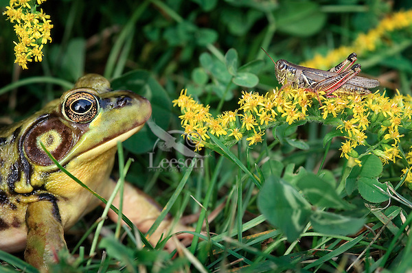 Green Frog (Rana clamitans melanota) eyes grasshopper that is sitting on goldenrod. Autumn.  Nova Scotia, Canada.