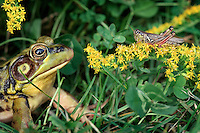 Green Frog (Rana clamitans melanota) eyes grasshopper that is sitting on goldenrod. Autumn.  Nova Scotia, Canada.