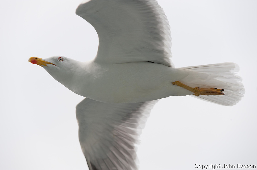 Yellow Legged Gull (Larus michahellis)  in flight.....Copyright..John Eveson,.Dinkling Green Farm,.Whitewell,.Clitheroe,.Lancashire..BB7 3BN.Tel. 01995 61280.Mobile 07973 482705.j.r.eveson@btinternet.com.www.johneveson.com