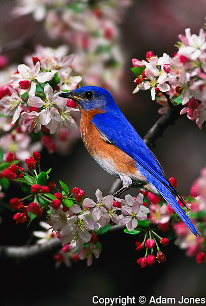 Male Eastern Bluebird among crabapple blossoms.Sialia sialis.Kentucky.Male Eastern Bluebird among crabapple blossomsSialia sialisKentucky.Male Eastern Bluebird among crabapple blossomsSialia sialisKentucky.Male Eastern Bluebird among crabapple blossoms.Sialia sialis.Kentucky