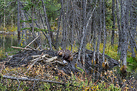 North American Beaver (Castor canadensis) working on lodge--sealing with mud.  Beaver lodges are covered with mud over tree branches to help seal out winter cold and also adds protection from predators.  British Columbia, Canada.  Fall.
