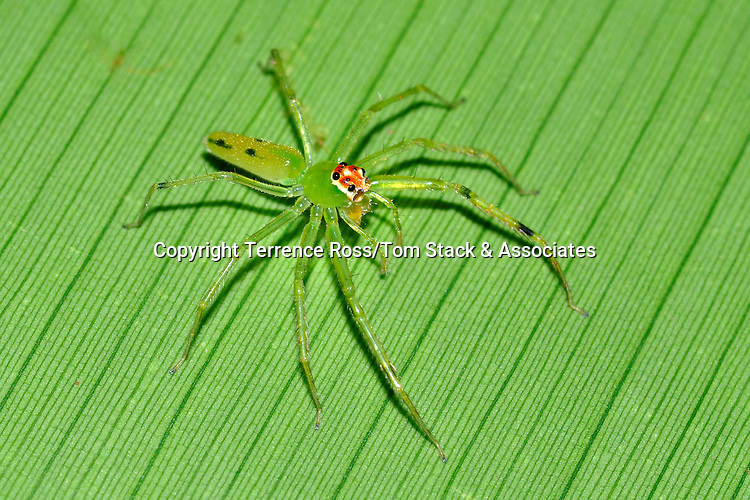 A spider (order Araneae) blends into the background of a banana leaf while on the hunt for prey. Tarcoles River. Costa Rica.