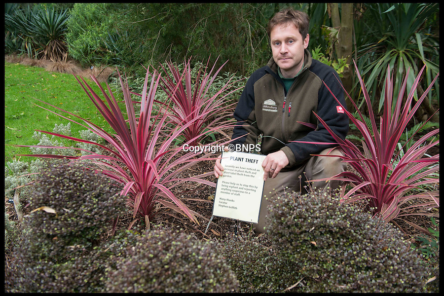 "BNPS.co.uk (01202 558833)<br /> Pic: LauraDale/BNPS<br /> <br /> Tim Newman at the Abbotsbury Sub-Tropical Gardens, at the site of a missing New Zealand Cabbage Palm, aka 'Cordyline australis'.<br /> <br /> The increase in thefts of rare and unusual plants is forcing botanical gardens to take extreme measures to keep green-fingered thieves at bay.<br /> <br /> Garden staff have had to install security cameras and patrol their plants to ensure people armed with rucksacks and hidden gardening tools don't dig them up.<br /> <br /> Between 10 to 15 exotic plants have been stolen from the Sir Harold Hillier Gardens near Romsey in Hampshire this year and Abbotsbury Subtropical Gardens in Dorset has seen about a dozen ""choice"" plants disappear.<br /> <br /> At Harold Hillier Gardens they suspect most of the thefts have been carried out at night, but at Abbotsbury brazen thieves have been digging plants up at the root in daylight when members of the public could walk past at any minute.<br /> <br /> Barry Clarke, a botanist at Sir Harold Hillier Gardens for 12 years, said the problems with theft seem to have got much worse in the last five years.<br /> <br /> With 180 acres and only 15 garden staff looking after 42,000 plants, they just can't watch every part of the garden and people are making off with rare and expensive plants that are almost impossible to replace.<br /> <br /> Expensive peonies, specialist snowdrops and mahonias so rare they haven't been named yet were among the plants taken and staff have resorted to installing motion cameras to catch the culprits."