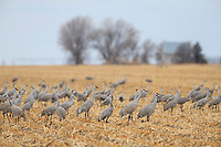 Sandhill Cranes (Grus canadensis) feeding in agricultural fiields during migration. Central Nebraska. March.