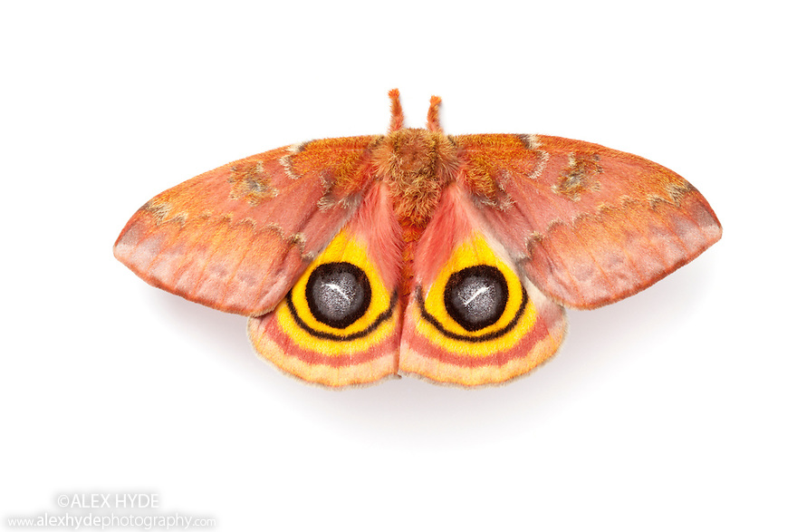 Bullseye Moth {Automeris io} showing eye spot markings on wings during deimatic display to deter predators. Photographed on a white background.  Captive, originating from North and Central America. Sequence 2 of 2.