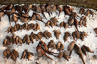 Shot pheasants and partridge lying on snow, Lancashire.