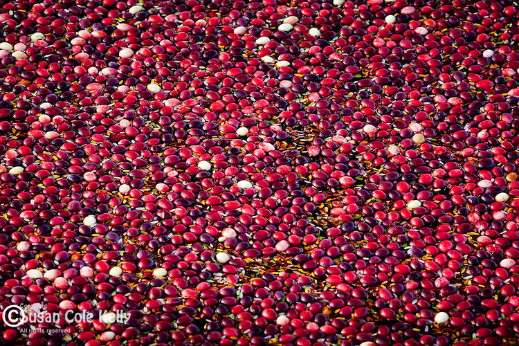 Cranberries floating in a cranberry bog in Carver, MA, USA