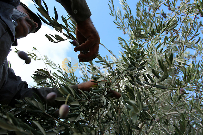 A Palestinian man picks up olives at a farm during a harvest season, near the Israeli settlement of Ariel in the occupied West Bank city of Salfit, after Israeli authorities allowed Palestinian farmers to harvest olives just for several days limited, on October 10, 2018. Photo by Shadi Jarar'ah
