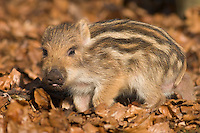 Germany, DEU, Arnsberg, 2005-Feb-07: A young wild boar (sus scrofa), about two weeks old, exploring the ground in the Wildwald Vosswinkel preserve.