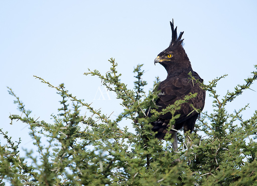 This was the eagle species I was looking forward to seeing most on this trip. We finally found one in Ndutu.